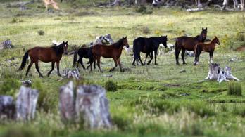 Inkább mégsem ölik halomra a vadlovakat Ausztráliában