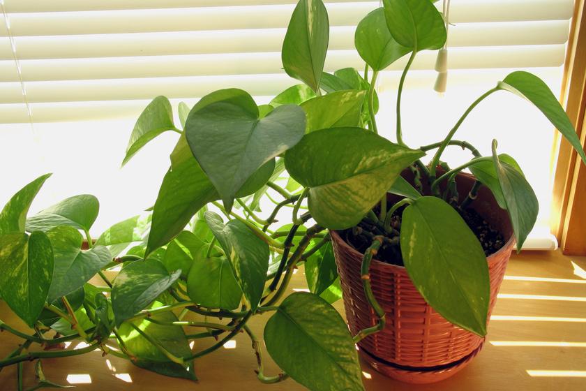 Ezek a legegészségesebb szobanövények a szakértő szerint: jól is mutatnak