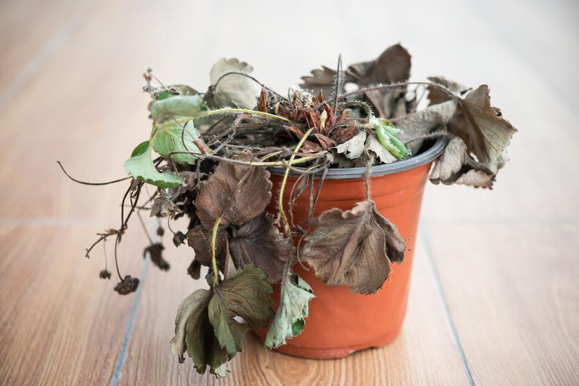 Mi miatt kínlódnak a növények? Nemcsak az baj, ha elfelejted öntözni