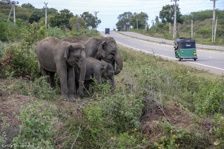 Elefántok állnak az út szélén a Hambatonta kikötőjéhez vezető főút mentén.