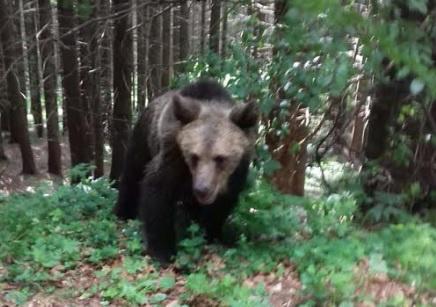 Medve a Szent Anna tó mellett