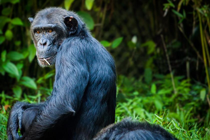 Egy rövid szót ismételgetnek a csimpánzok: tudósok megfejtették, mit jelent