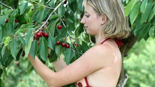 Jó a termés, olcsóbb lesz a cseresznye