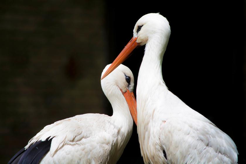 Nagyon cuki dolog derült ki a gólyák személyiségéről: magyar kutató jött rá