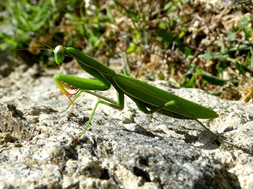Az imádkozó sáska nem sáskaféle, hanem igazi ragadozó: már lárvaként megeszi a levéltetveket, a növényekre rakott petéket, később a legyeket, sokszor kártékony lepkéket is.