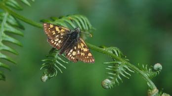 Belgiumból importáltak pillangókat Angliába