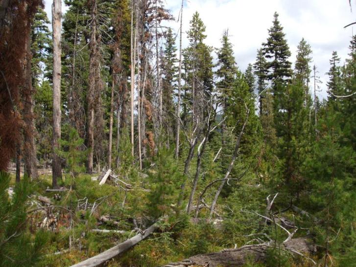 Elpusztult fák a nemzeti park egyik fertőzött részén