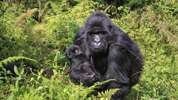 Megmenekülhet a kihalástól a vadon élő hegyi gorilla