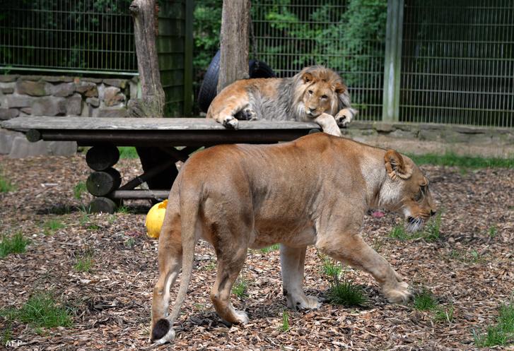 Malor és Lira a lünebachi Eifel-Zoo oroszlánjai