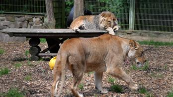 Téves riasztás volt, hogy két oroszlán, két tigris és egy jaguár is megszökött egy német állatkertből
