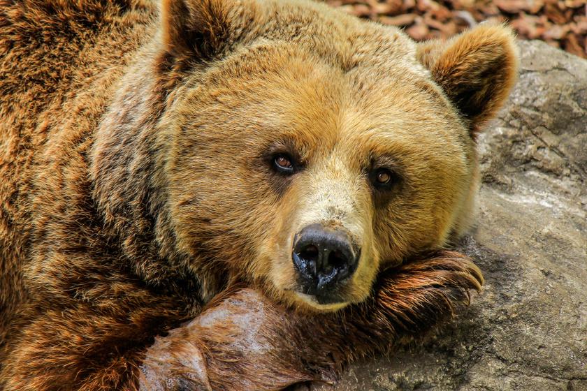 Mit tegyél, ha medvét látsz? Így viselkedj támadásveszély esetén