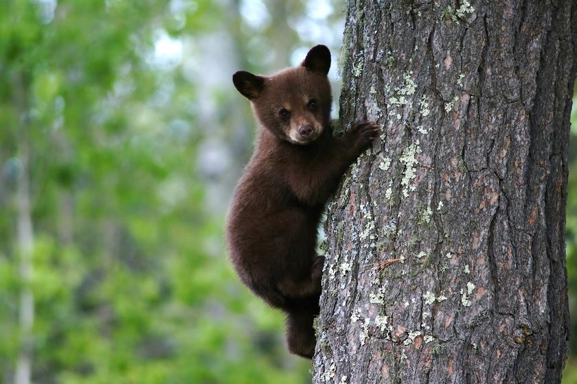 medve-maci-bocs-medvetámadás