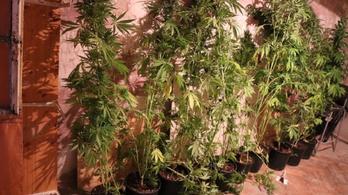 Egy csőtörés miatt bukott le a marihuánaültetvényes