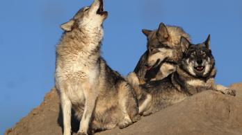 Egyszer farkasok mentették meg a Yellowstone parkot