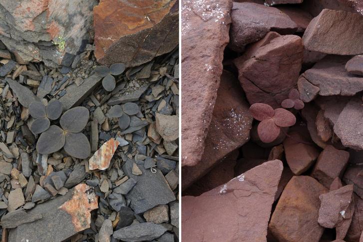 Corydalis hemidicentra növények eltérő színű környezetben
