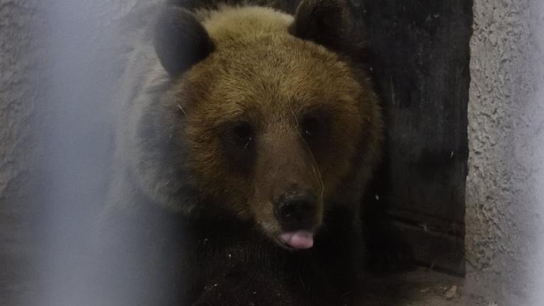 Ma sem született döntés a Nemzet Medvéjéről