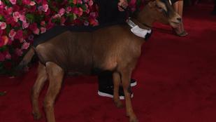 A Tony-gála egyértelmű sztárja ez a kecske volt, ami leszarta a vörös szőnyeget