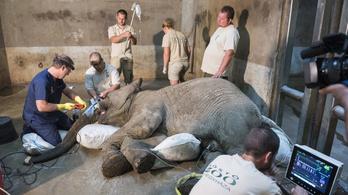 Kiműtötték egy elefánt agyarát Nyíregyházán