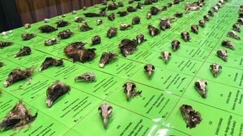 Lemészároltak 136 sast Ausztráliában