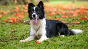 Bemutatjuk a 10 legokosabb kutyafajtát