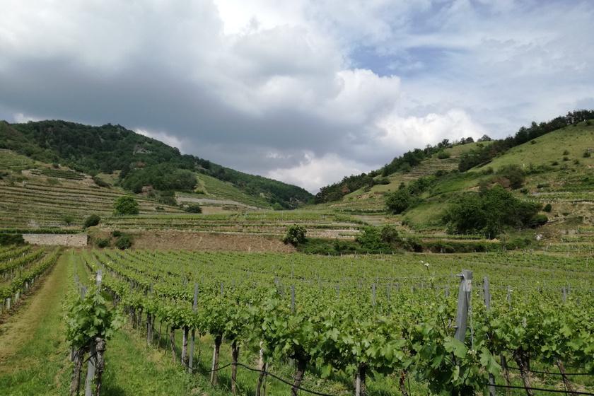 Teraszos művelésű szőlőskertek, az egész régióra jellemző tájkép. Mivel mindent kézzel csinálnak, a borok nagyon jó minőségűek.