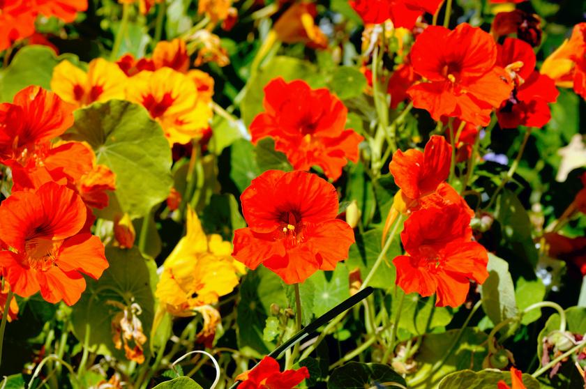 A csodaszép kerti sarkantyúka elriasztja a rovarokat, és érdekesség, hogy a növény földből kilógó részei ehetőek. Többnyire salátával tálalják, íze a retekére emlékeztet.