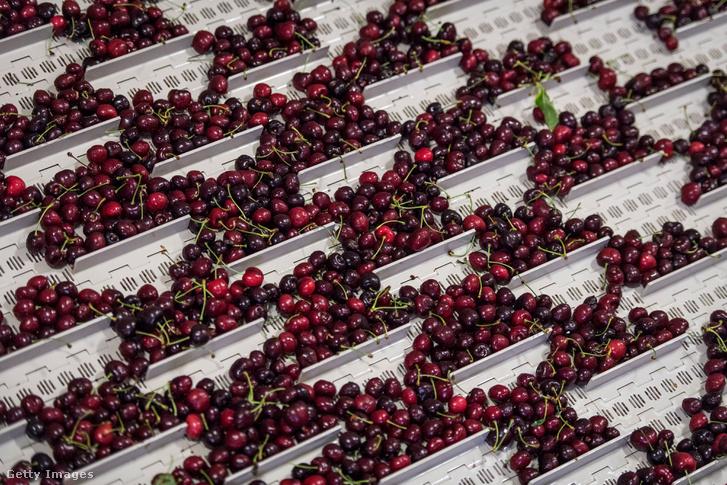 Cseresznyefeldolgozó Kaliforniában, ahol a farmerek attól tartanak, hogy a kereskedelmi háború miatt nem tudják majd eladni a gyorsan romló áruikat Keletre.