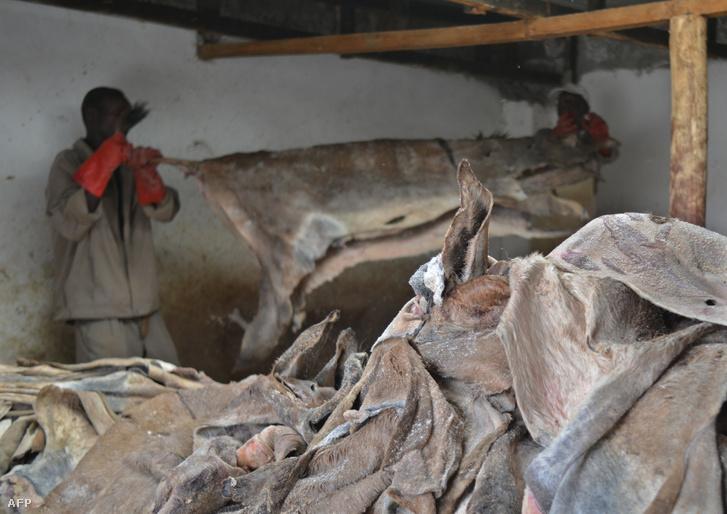 Szamárbőrök egy baringoi műhelyben