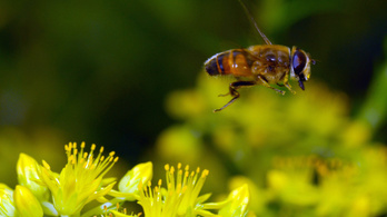 A méheket kicsinálja a munkahelyi stressz