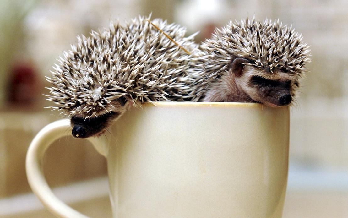 masons pygmy hedgehog 050023440