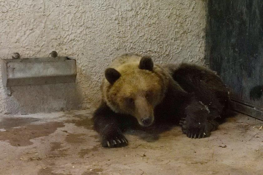 Robi a Szegedi Vadaspark medveházának egyik elkülönítő helyiségében pihent a befogása után, majd szabadon engedték.