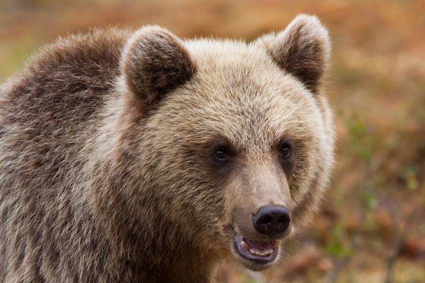 12 életbevágó szabály, ami megmenthet, ha medvével találkozol - A szakértőktől