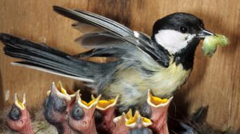 Azt hisszük, madárcsicsergés, de ez valójában tradíció