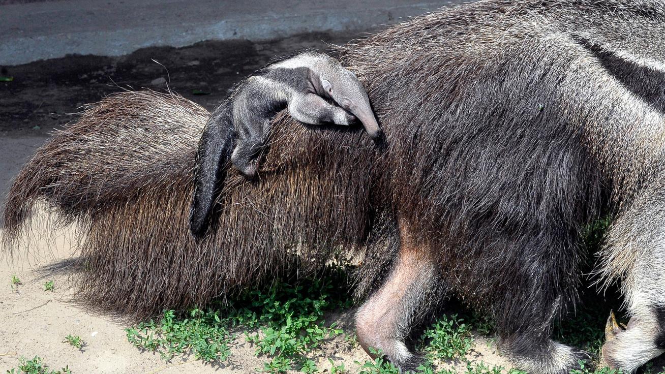 Anyja hátán utazik az újszülött sörényes hangyász: nagyon cuki fotók