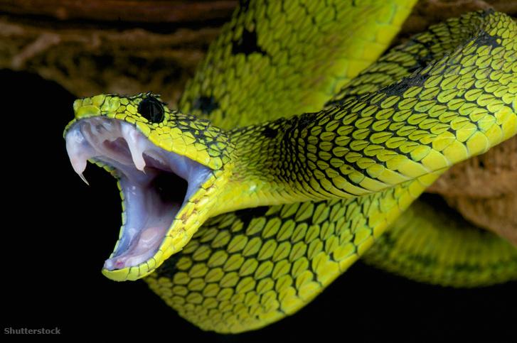 Zöld bokorvipera (Atheris nitschei) villantja méregfogait