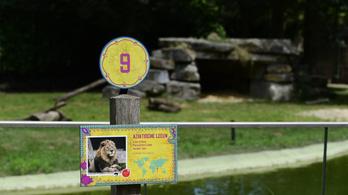 Nem sikerült elkábítani a kiszökött belga oroszlánt, inkább lelőtték