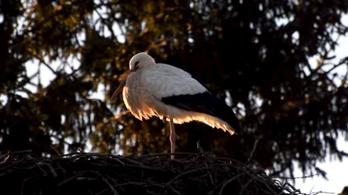 Elpusztult Fülöp, a gólya, aki már 13 éve élt Magyarországon