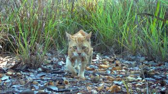 Ausztráliában háborúban állnak a macskák a hüllőkkel