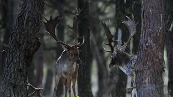 Jogerős: Mészáros Lőrinc fia pert vesztett a bélmegyeri vadászokkal szemben