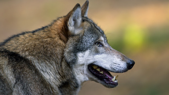 Ellepik a vidéket a csernobili farkasok