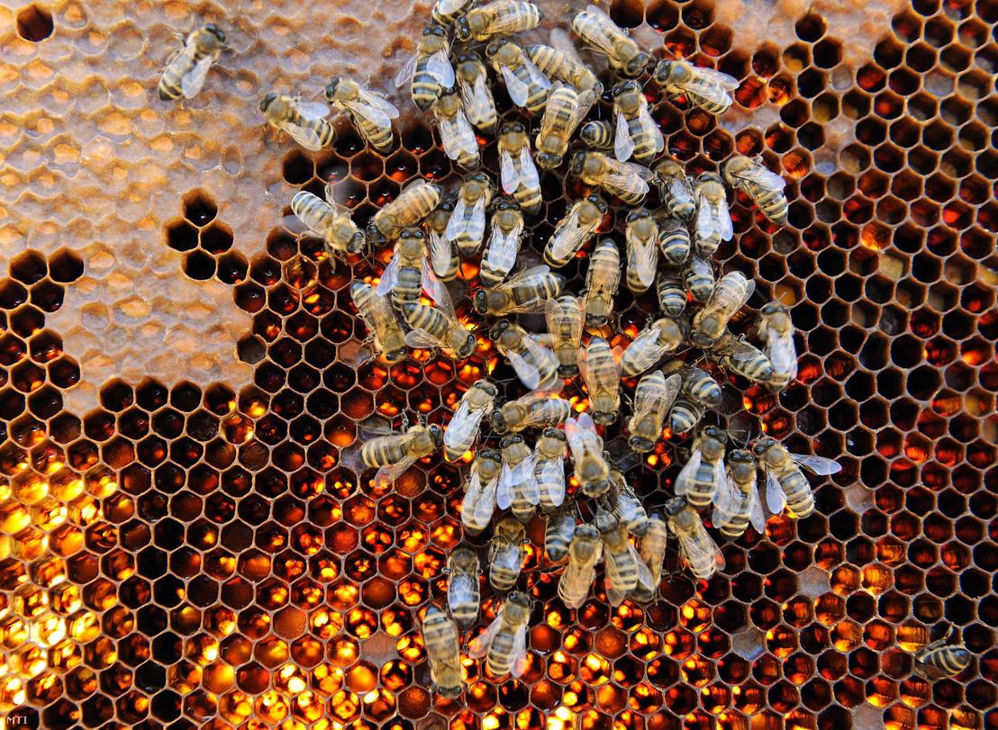 Méhek a lépen. Egy-egy kaptárban a csúcsidőszakban csaknem 70 000 méh alkot egy családot. A méhek a helyi adottságok szerint akác, hárs, repce, napraforgó és vegyes virágmézet gyűjtenek.