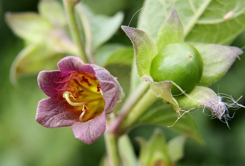 A nadragulya a mérsékelt égöv egyik legmérgezőbb növénye, már néhány bogyója idegrendszeri bénulást okoz. Gyógyászatban használt levele és gyökere alkaloidokat, hioszciamint, szkopolamint, atropint tartalmaz, ami kinyert formában az ideggörcsök oldására szolgáló gyógyszerek fontos anyaga.