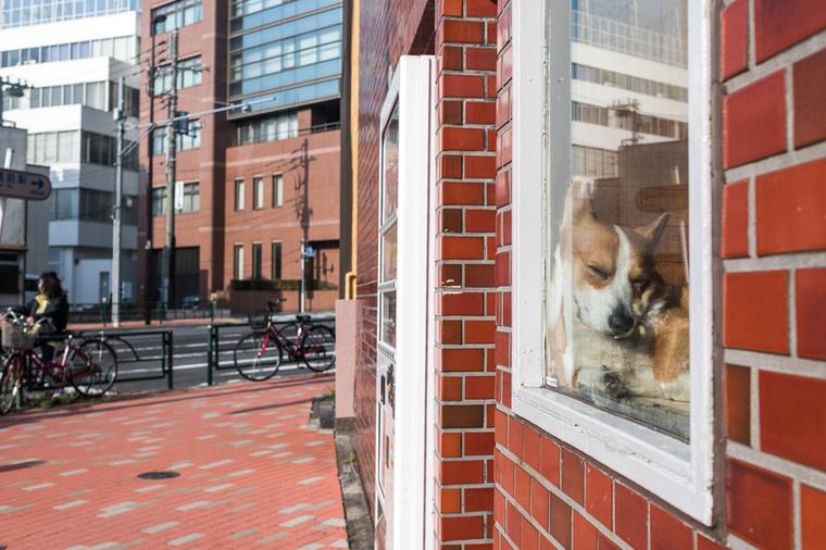 """""""Asakusa városrészben egy ablaklakó kutya, a szállodánk mellett lakott és egy kifestett szemöldökű labradorral osztoztak a panorámás helyen""""-mesélte Soós Bertalan, aki az Asahi nagyköveteként ismerkedett a japán kultúrával"""