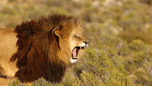 Orrszarvúra vadásztak, majd megették őket az oroszlánok