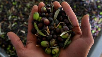 Mi a különbség a zöld és a fekete olívabogyó között?