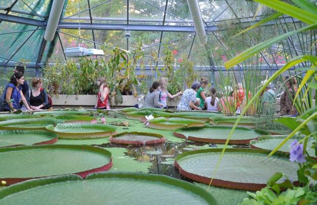 Amazonasi óriás tündérrózsa a Füvészkertben