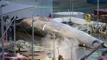 40 év után öltek újra kék bálnát