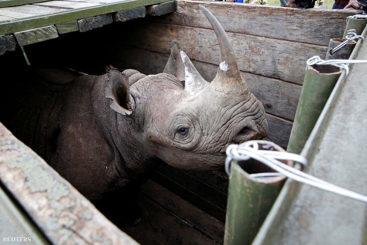 Egy nőstény fekete rinocérosz a költöztetés előtt