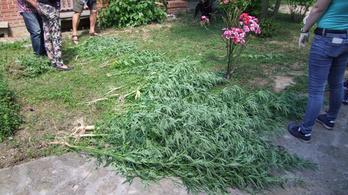 Marihuánából volt a balatoni kerti sövény