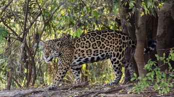 Nem voltak problémái, a szomszédai is jóravalónak ismerték a jaguárt, aki aztán meggyilkolt hat állatot